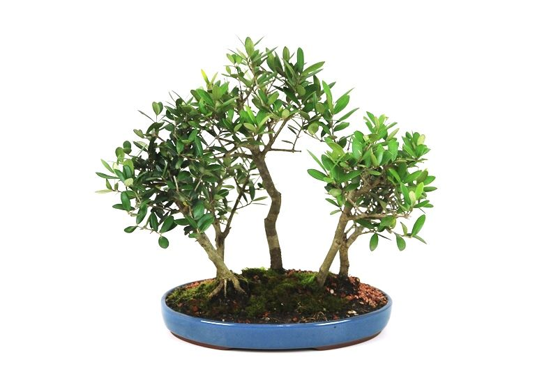 Bosque Oliveira 15 anos - medida da planta (AxL) 30x42 cm