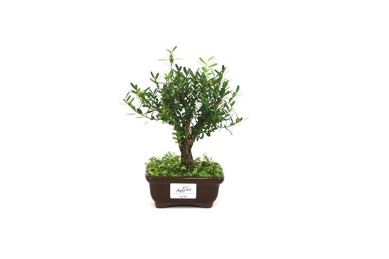 CÓPIA - Bonsai Buxinho 02 anos - medida da planta (AxL) 15x14 centímetros