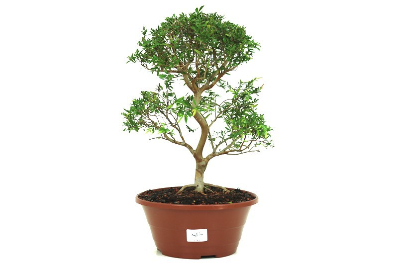 Pré-Bonsai Cambui  08 anos medida da planta (AxL) 30x28 CM