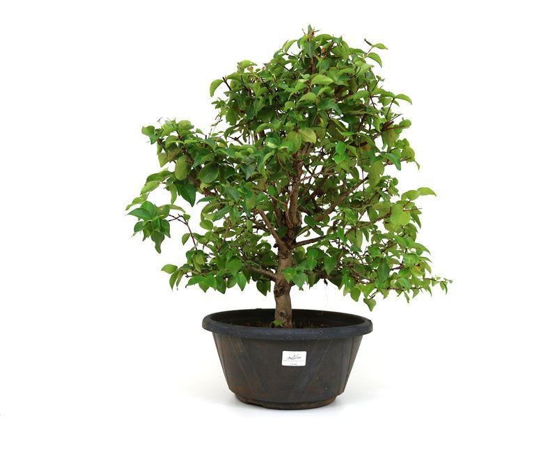 Pré-Bonsai Pitanga 14 anos - medida da planta (AxL) 44x48 cm