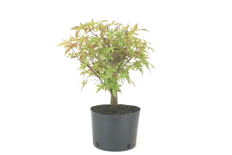 Pré-Bonsai Acer Deshojo aproximadamente 05 anos - medida da planta (AxL) 29x26 cm