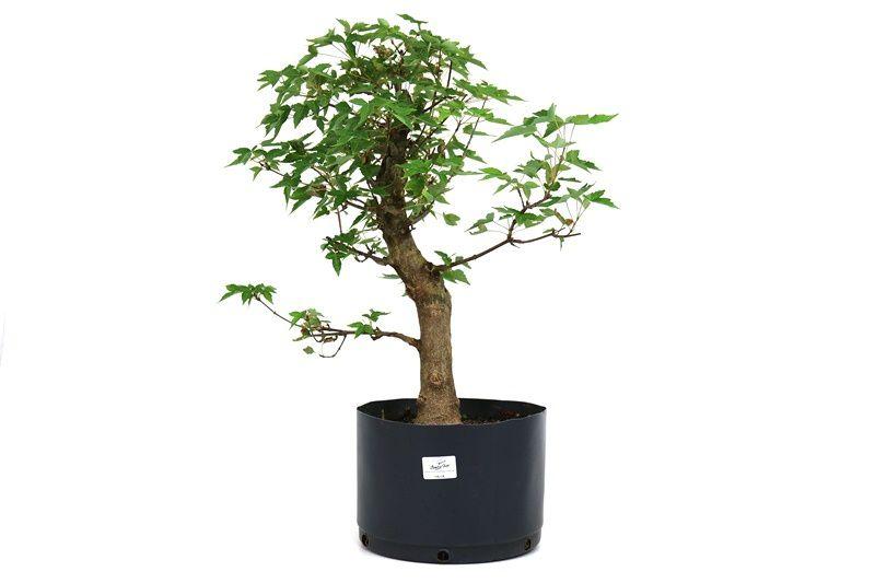 Pré-Bonsai Acer Kaede  12 anos - medida da planta (AxL) 33x29 cm