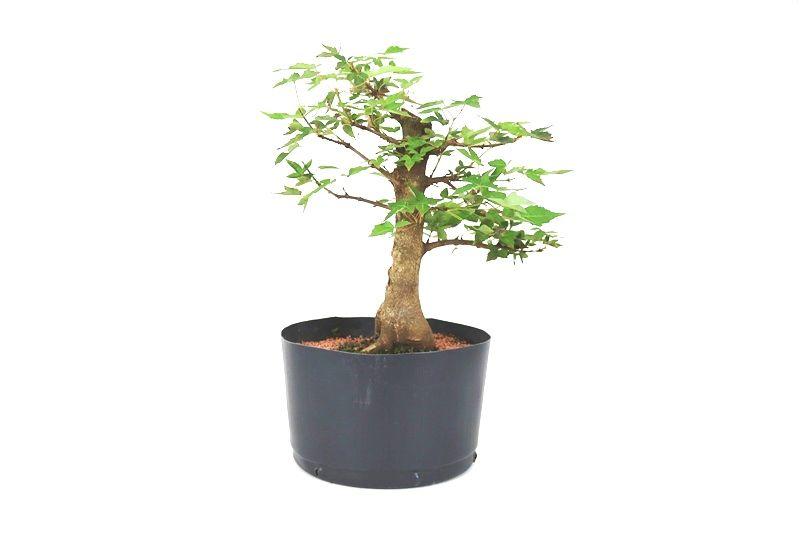 Pré-Bonsai Acer Kaede  14 anos - medida da planta (AxL)  22x28 cm