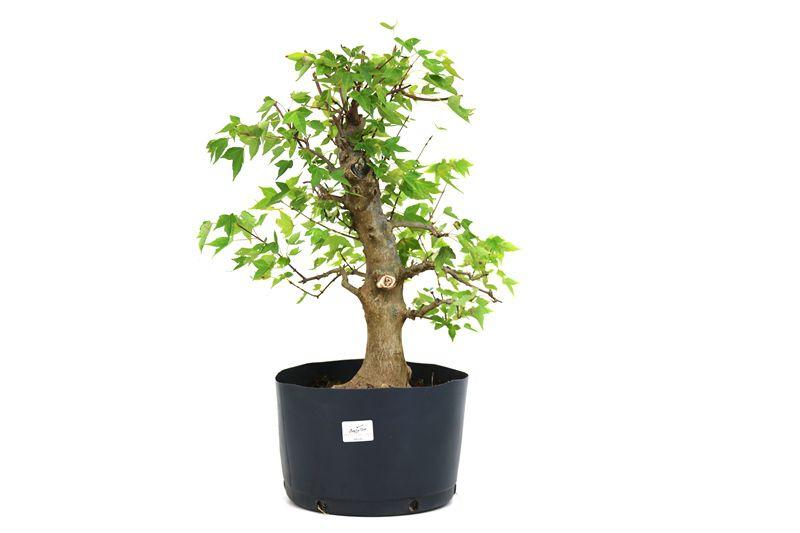 Pré-Bonsai Acer Kaede  14 anos - medida da planta (AxL) 41x42 cm