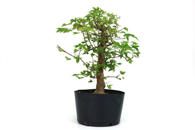 Pré-Bonsai Acer Kaede  14 anos - medida da planta (AxL) 42x39 cm