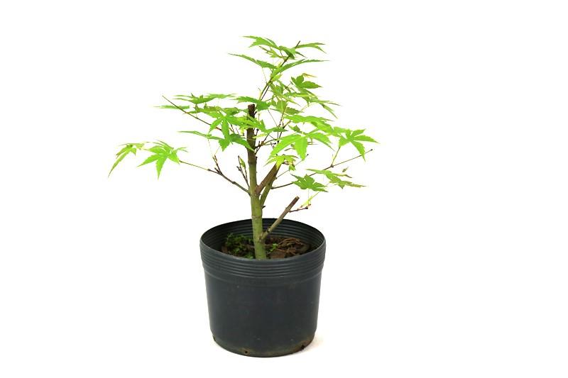 Pré-Bonsai Acer Palmatum aproximadamente 02 anos - medida da planta (AxL) 21x29 cm