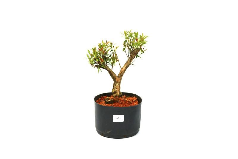 Pré-Bonsai Anã 3,5 anos - Medida da Planta  (XL) 23x20 cm