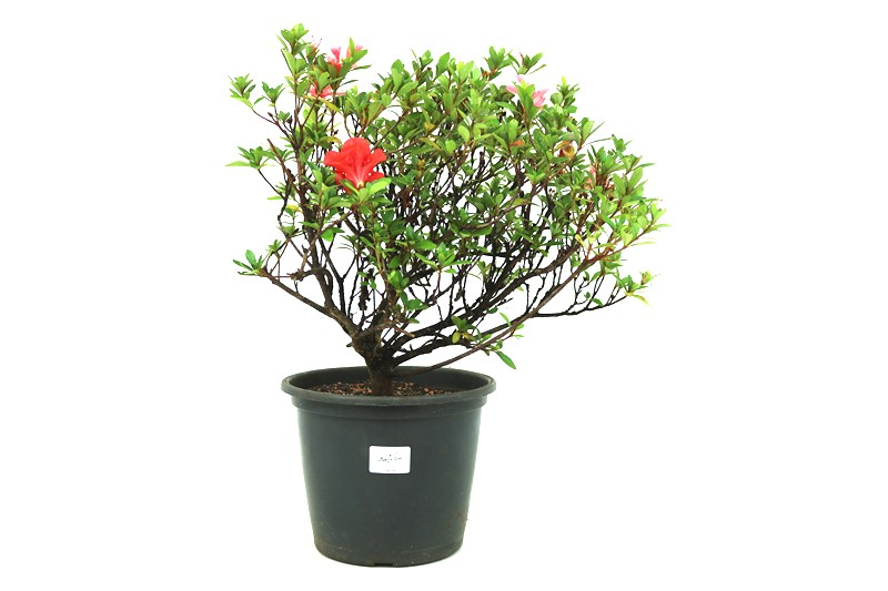 Pré-Bonsai Azaleia Satsuki 06 anos medida da planta (AxL) 37x42 cm