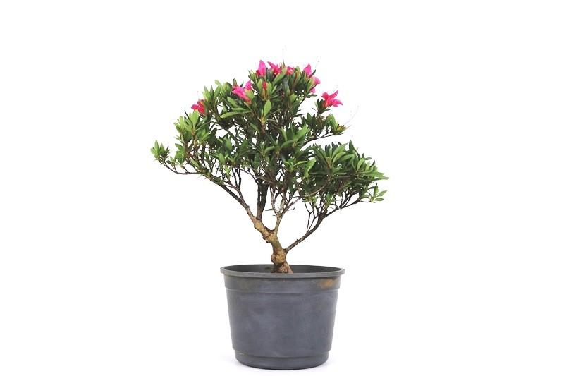 Pré-Bonsai Azaleia Satsuki 08 anos medida da planta (AxL) 25x27 cm