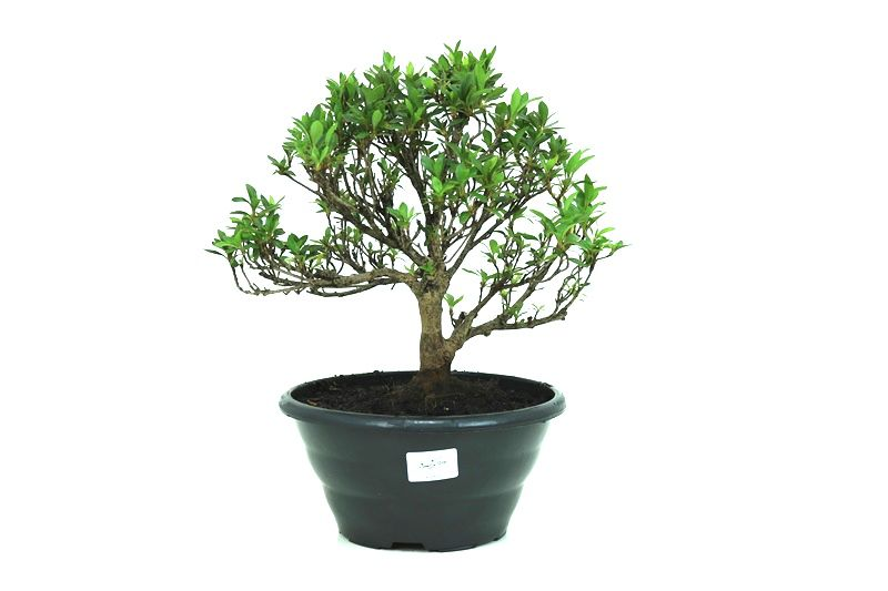 Pré-Bonsai Azaleia Satsuki 08 anos medida da planta (AxL) 25x31 cm