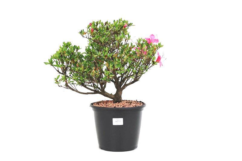 Pré-Bonsai Azaleia Satsuki 08 anos medida da planta (AxL) 30x31 cm