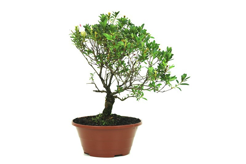 Pré-Bonsai Azaleia Satsuki 08 anos medida da planta (AxL) 32x31 cm