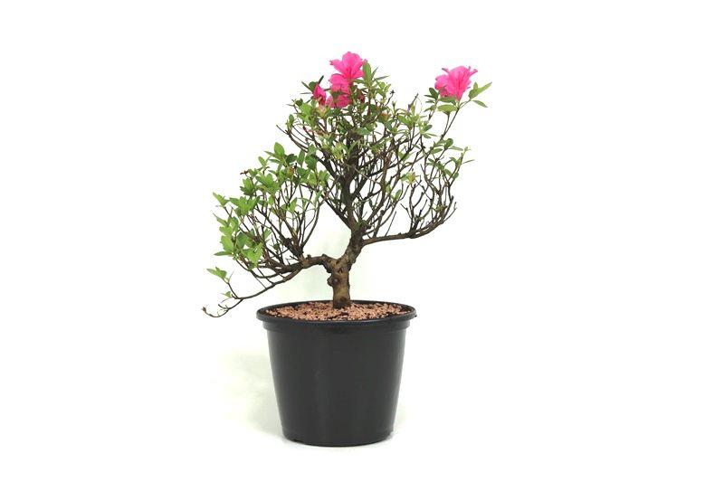 Pré-Bonsai Azaleia Satsuki 08 anos medida da planta (AxL) 33x31 cm