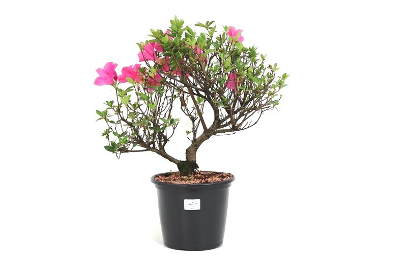 Pré-Bonsai Azaleia Satsuki 08 anos medida da planta (AxL) 35x38 cm