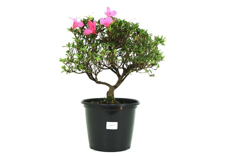 Pré-Bonsai Azaleia Satsuki 12 anos medida da planta (AxL) 27X35 cm