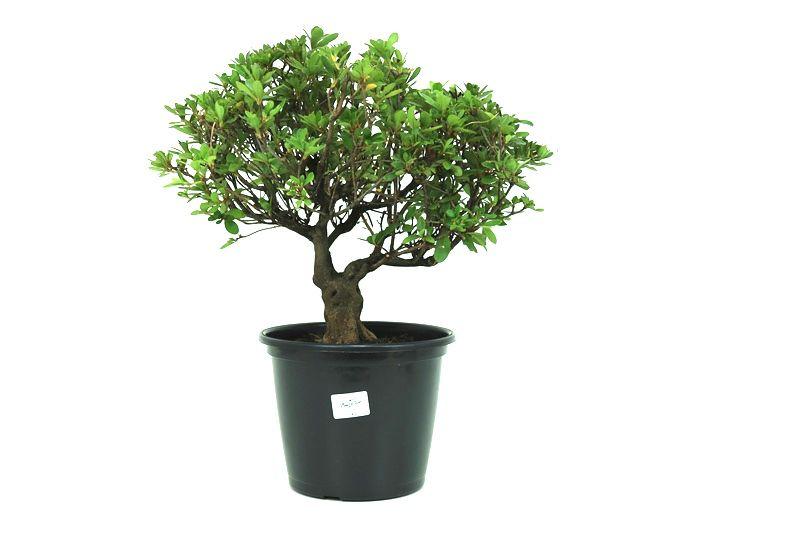 Pré-Bonsai Azaleia Satsuki 14 anos medida da planta (AxL) 31x34 cm