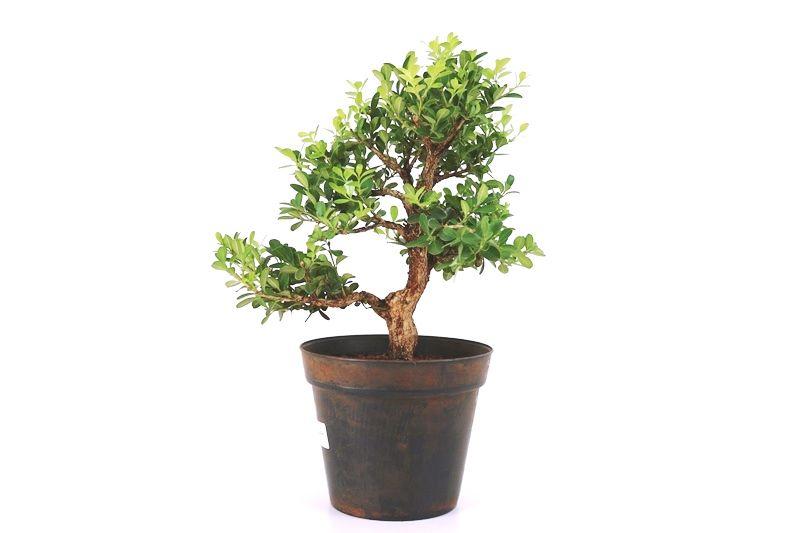 Pré-Bonsai Buxinho 08 anos - medida da planta (AxL) 30x33 cm