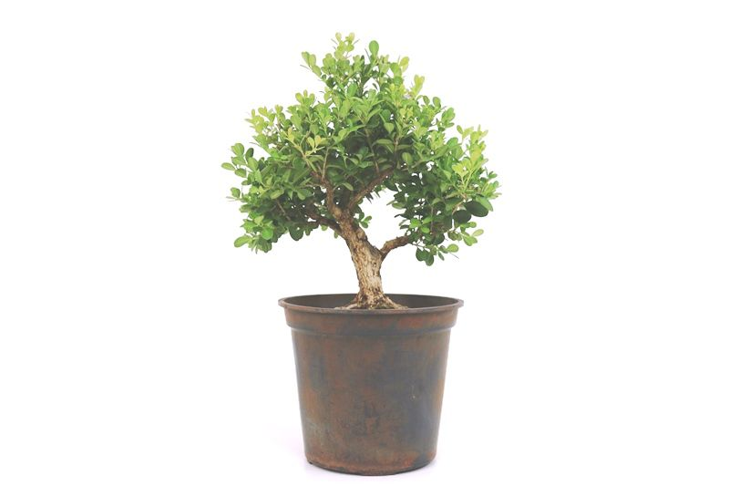 Pré-Bonsai Buxinho 08 anos - medida da planta (AxL) 32x32 cm