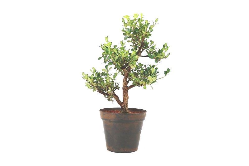 Pré-Bonsai Buxinho 08 anos - medida da planta (AxL) 33x29 cm