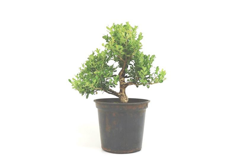 Pré-Bonsai Buxinho 08 anos - medida da planta (AxL) 34x35 cm