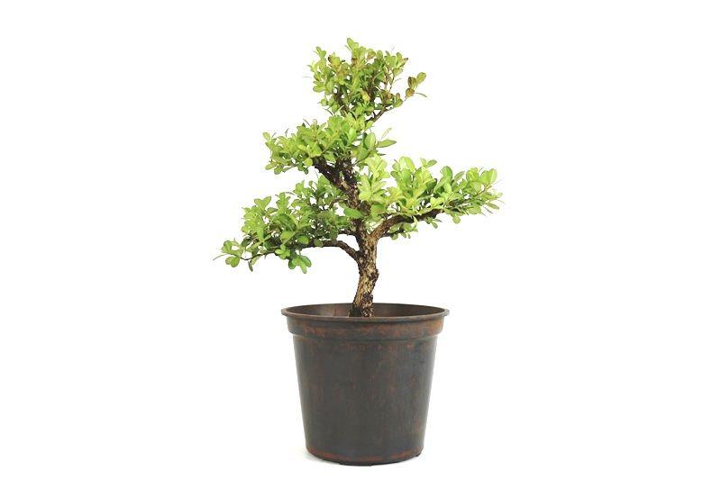 Pré-Bonsai Buxinho 08 anos - medida da planta (AxL) 36x36 cm