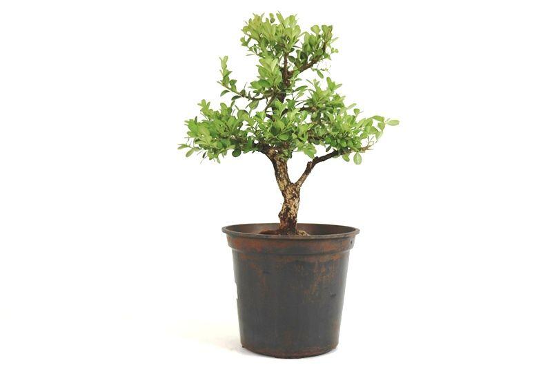 Pré-Bonsai Buxinho 08 anos - medida da planta (AxL) 37x32 cm