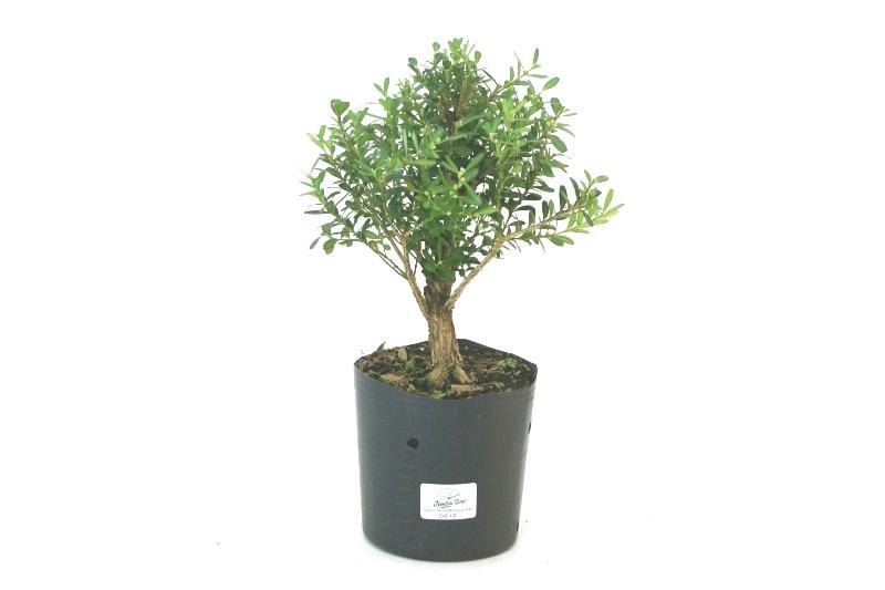 Pré-Bonsai Buxinho aproximadamente 03 anos - medida da planta (AxL) 21x20 cm