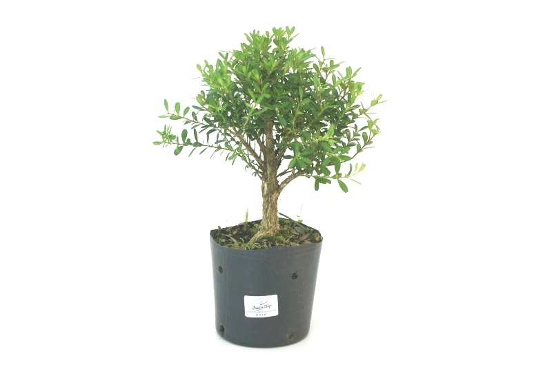 Pré-Bonsai Buxinho aproximadamente 03 anos - medida da planta (AxL) 22x22 cm