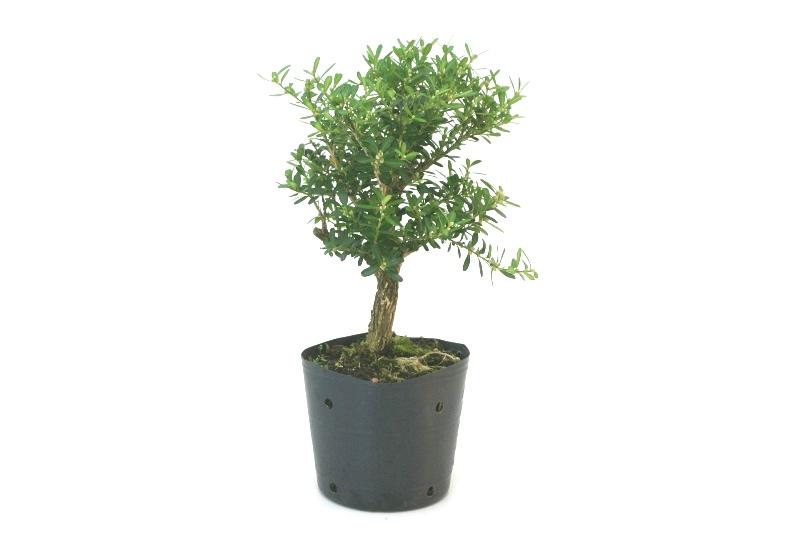 Pré-Bonsai Buxinho aproximadamente 03 anos - medida da planta (AxL) 24x18 cm