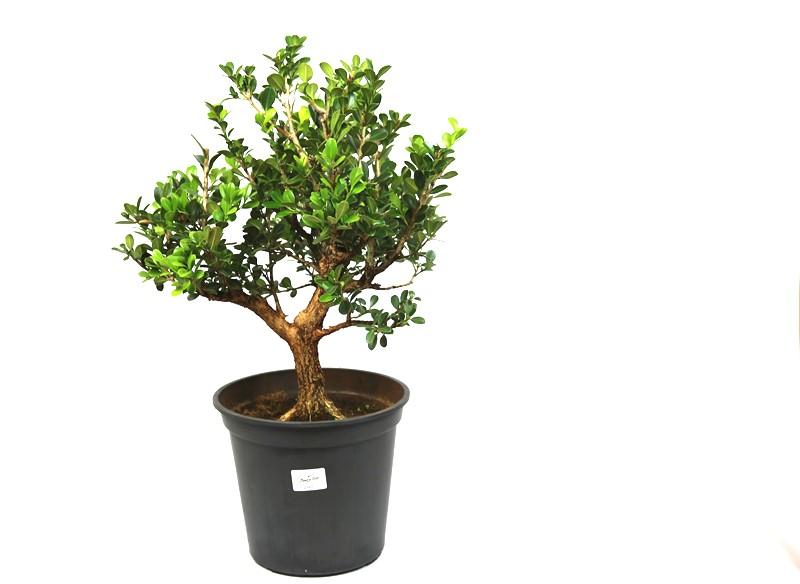 Pré-Bonsai Buxinho Harlandi 14 anos - medida da planta (AxL) 40x36 cm