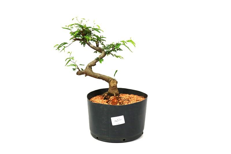 Pre-Bonsai Caliandra 03 anos Medida da Planta (AxL) 21x21 cm