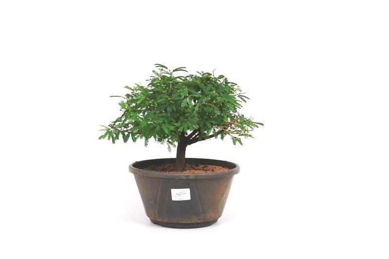Pre-Bonsai Caliandra rosa 06 anos Medida da Planta (AxL) 20x28 cm