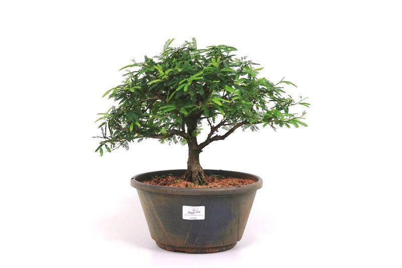 Pre-Bonsai Caliandra rosa 06 anos Medida da Planta (AxL) 26x36 cm