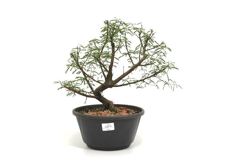 Pre-Bonsai Caliandra rosa 06 anos Medida da Planta (AxL) 29x35 cm