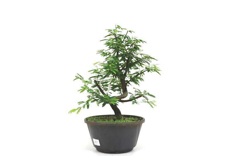 Pre-Bonsai Caliandra rosa 06 anos Medida da Planta (AxL) 36x30 centímetros