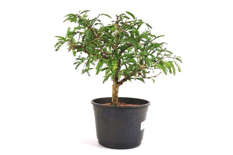 Pre-Bonsai Caliandra Spinosa 06 anos Medida da Planta (AxL) 28x30 cm
