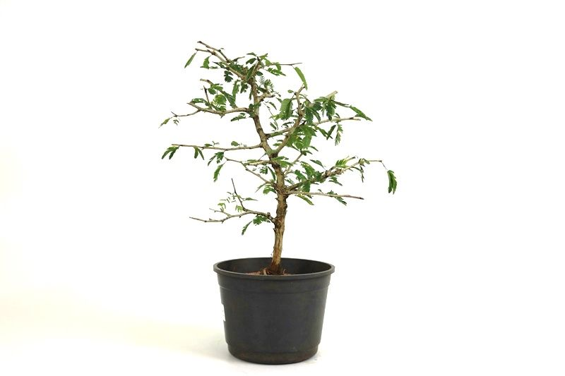 Pre-Bonsai Caliandra Spinosa 06 anos Medida da Planta (AxL) 36x30 cm