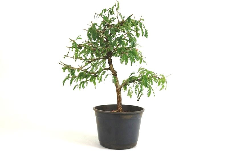 Pre-Bonsai Caliandra Spinosa 06 anos Medida da Planta (AxL) 38x38 cm