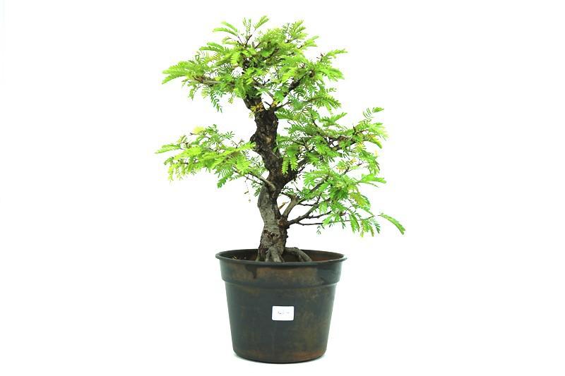 Pre-Bonsai Caliandra Surinamensis 14 anos Medida da Planta (AxL) 40x41 cm
