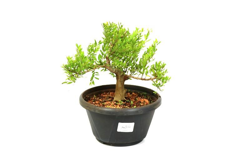 Pré-Bonsai Cambui  04 anos medida da planta (AxL) 17x22 CM