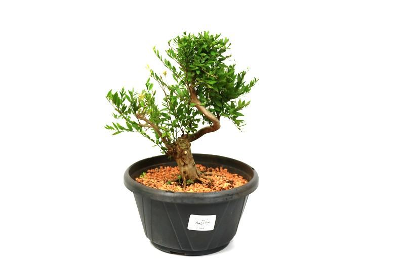 Pré-Bonsai Cambui  04 anos medida da planta (AxL) 20x19 CM