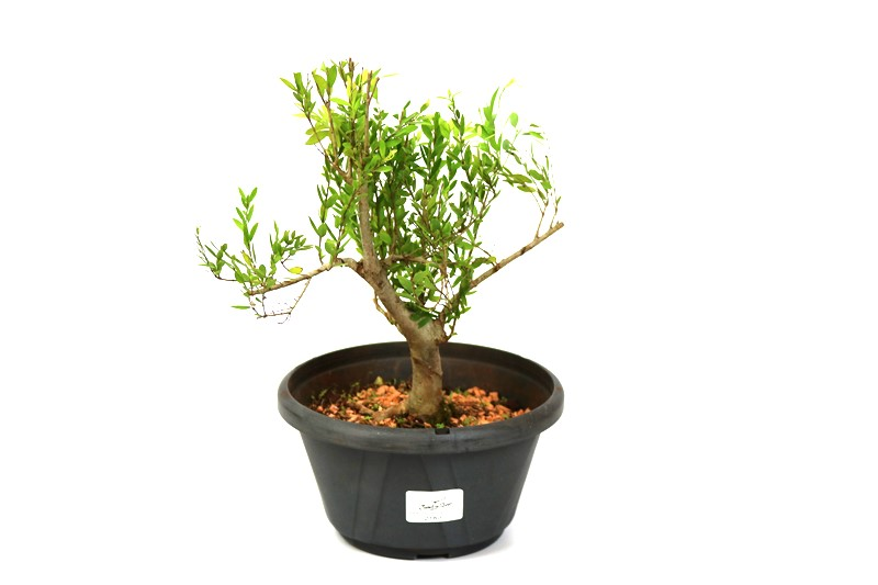 Pré-Bonsai Cambui  04 anos medida da planta (AxL) 24x22 CM