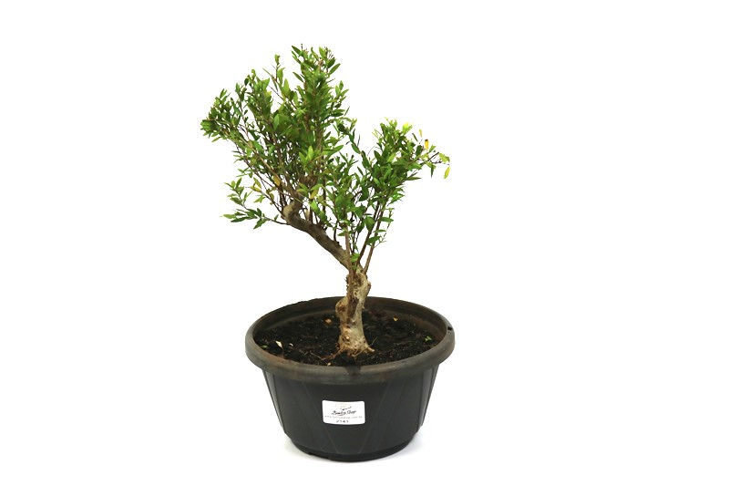 Pré-Bonsai Cambui  04 anos medida da planta (AxL) 25x20 CM