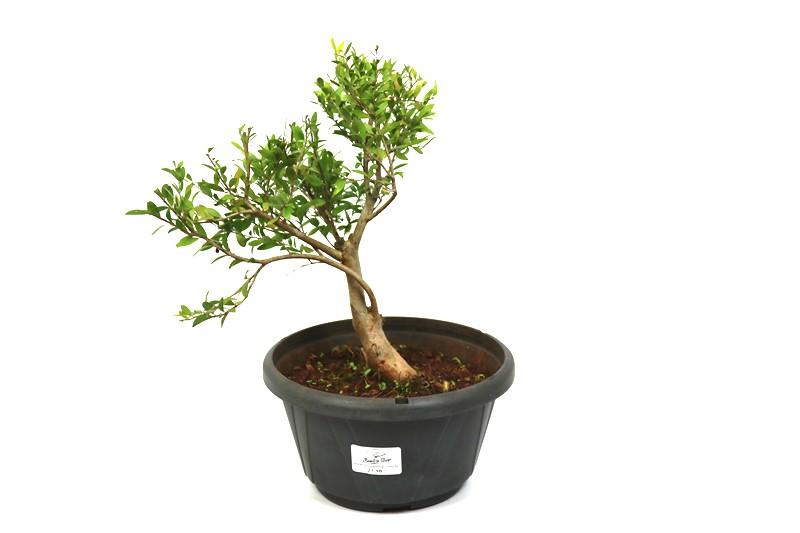 Pré-Bonsai Cambui  06 anos medida da planta (AxL) 23x21 CM