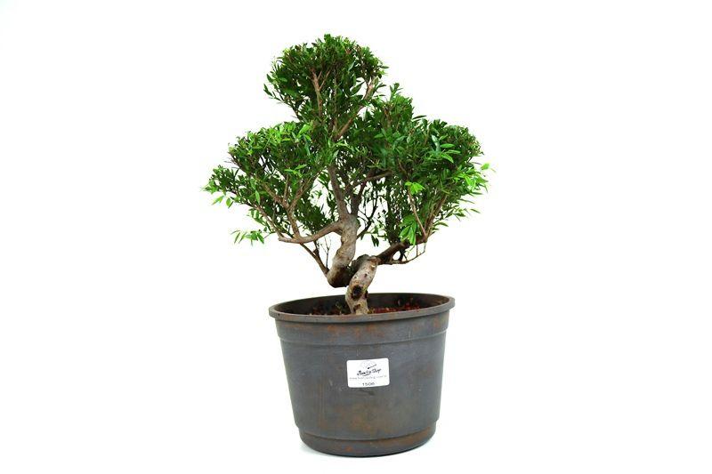 Pré-Bonsai Cambui  06 anos medida da planta (AxL) 26x26 CM