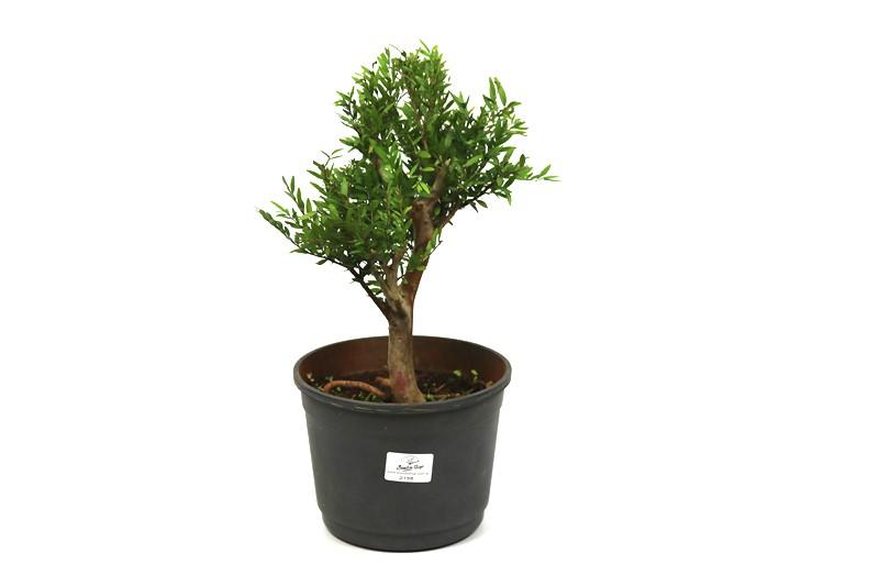 Pré-Bonsai Cambui  06 anos medida da planta (AxL) 29x21 CM