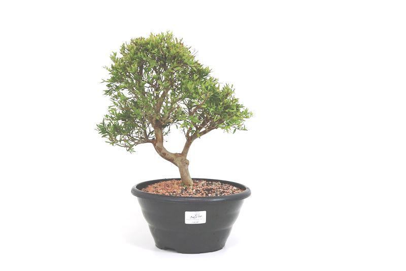 Pré-Bonsai Cambui  06 anos medida da planta (AxL) 29x27 CM