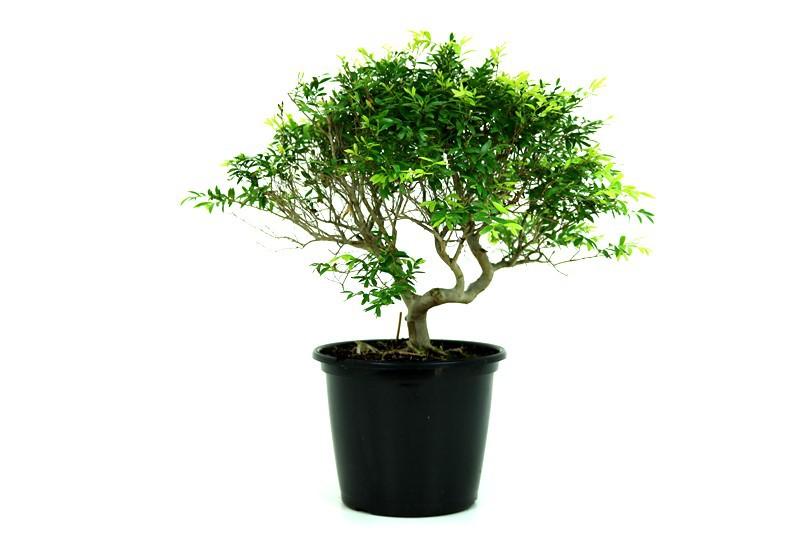 Pré-Bonsai Cambui  06 anos medida da planta (AxL) 29x36 CM