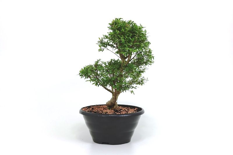 Pré-Bonsai Cambui  06 anos medida da planta (AxL) 30x26 CM