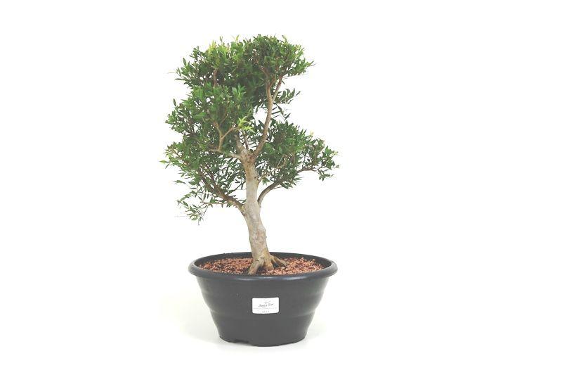 Pré-Bonsai Cambui  06 anos medida da planta (AxL) 33x22 CM